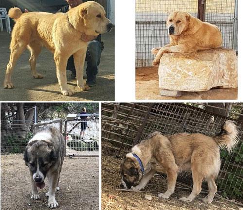 בנפט למכירה - גורי רועה אסיאתי גזעיים - מכירת כלבים למשקים חקלאיים WM-44